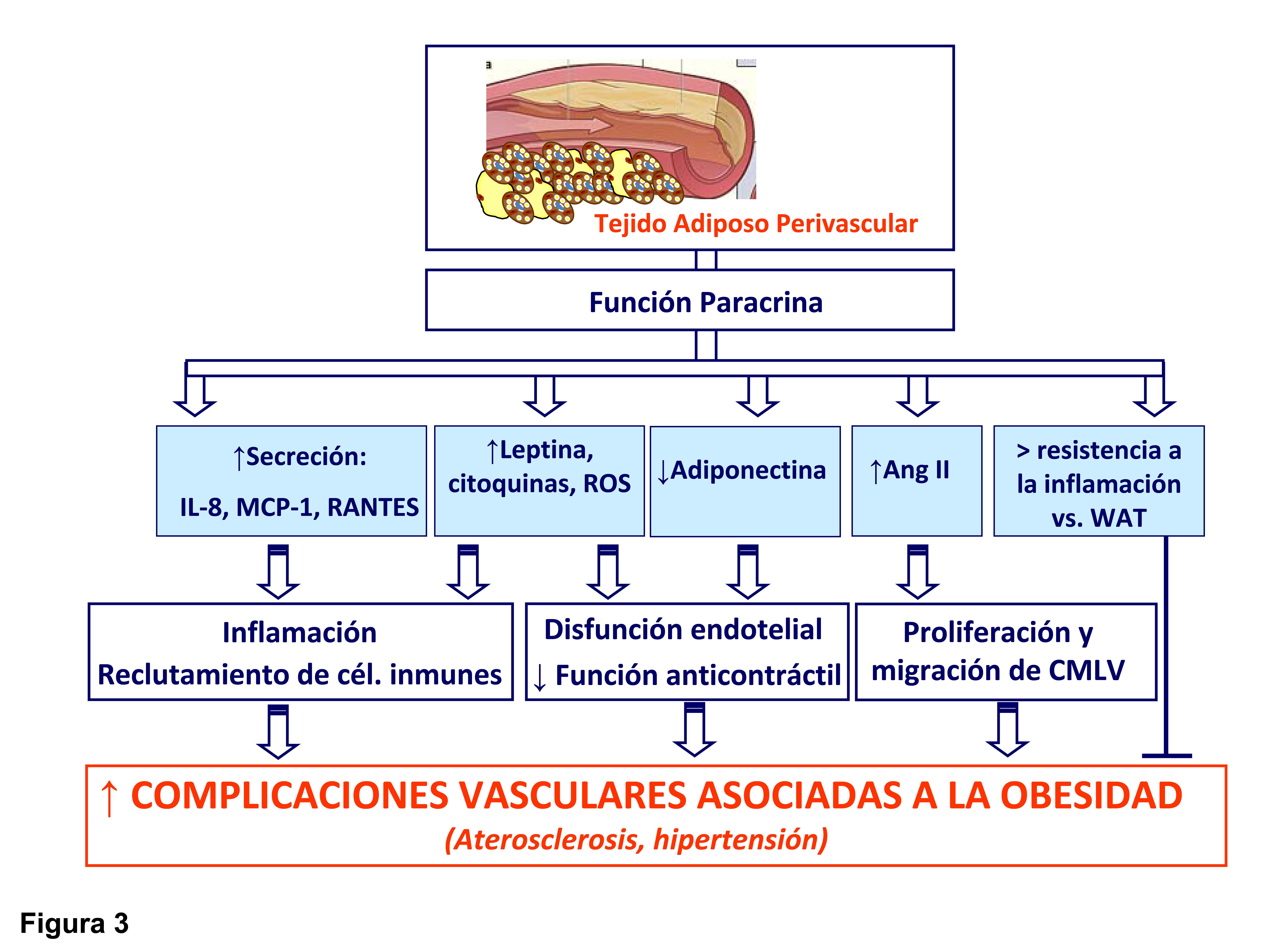 adipogénesis y función de células grasas en obesidad y diabetes