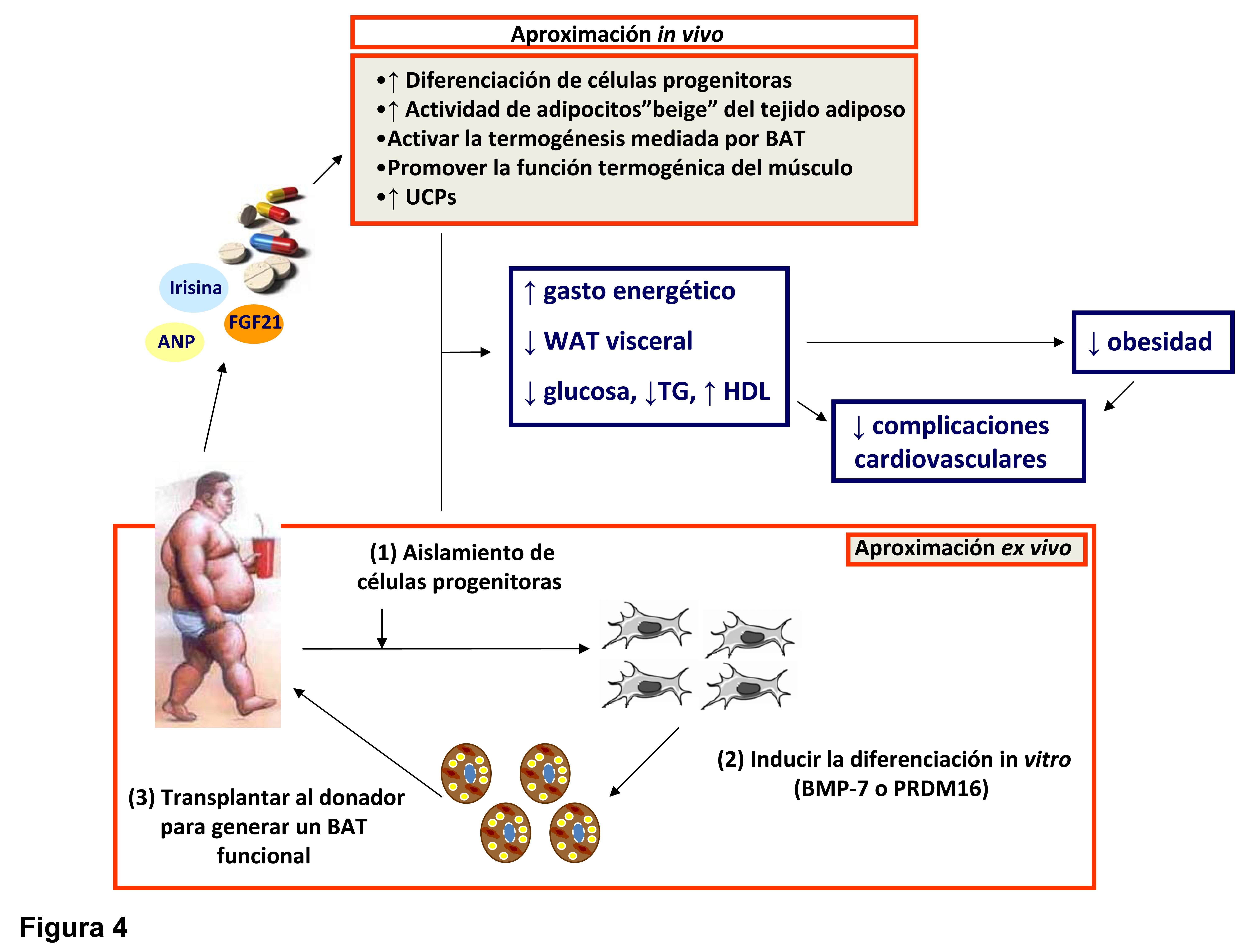 Papel de la resistencia selectiva a la leptina en la dieta inducida por la obesidad, la hipertensión